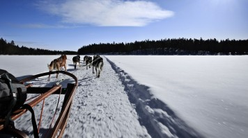 Many husky dogs pulling a sledge on snow