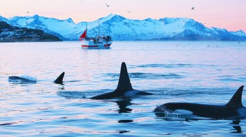 Whales swimming in water near mountains and tourists on boat watching them