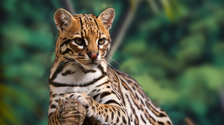 Ocelot are a common wildlife sighted in Costa Rica