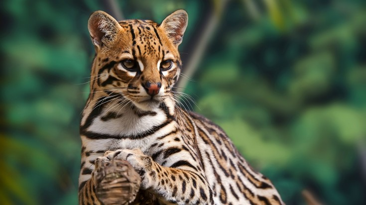 Ocelot are a common wildlife in Costa Rica