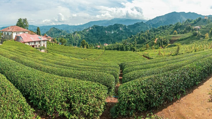 Rize province is known as the Rize Tea producing province in Turkey.
