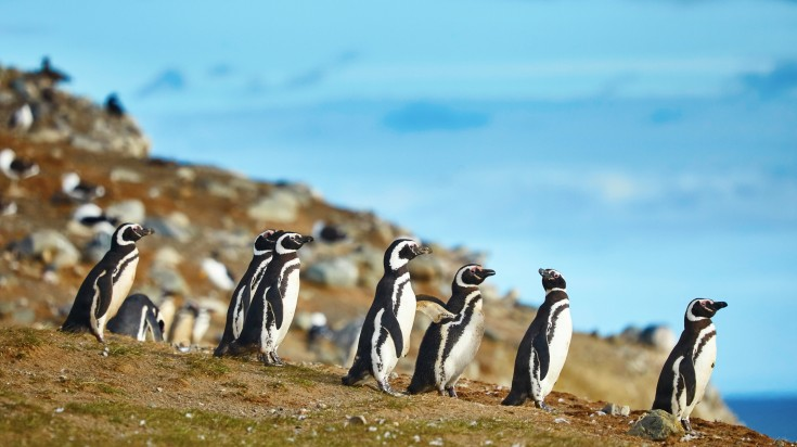 Penguins in Magdalena Island