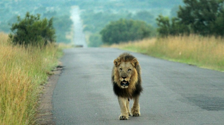 A lion at Pilanesberg National Park