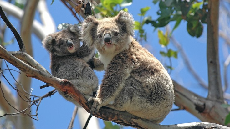 Places to visit in Sydney, koalas in Taronga Zoo