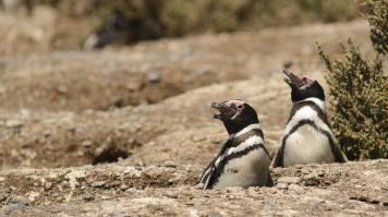 Magellan Penguins in Punta Tombo
