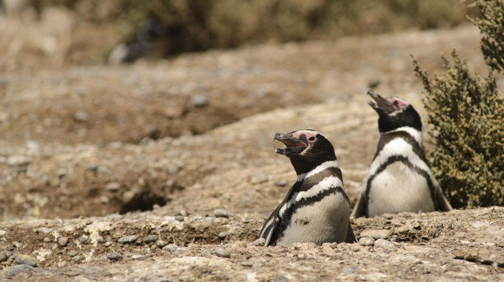 Magellan Penguins in Punta Tombo