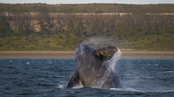 Whales in Puerto Madryn