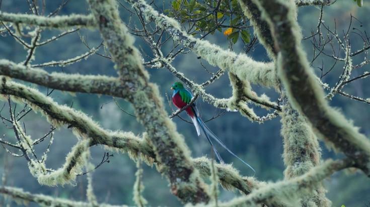 Quetzal in San Gerardo de Dota forest in Costa Rica