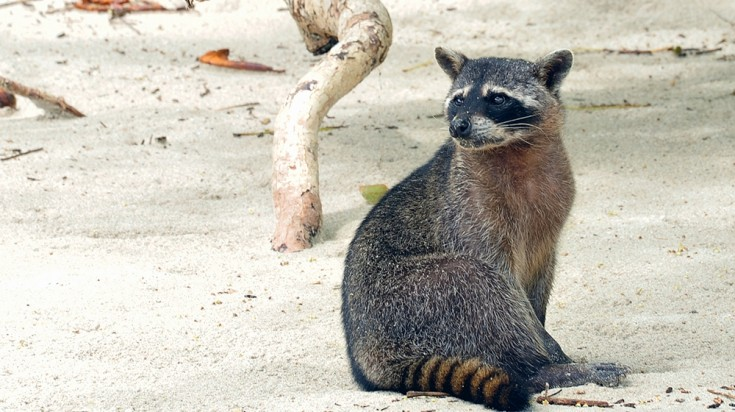 Manuel Antonio is home to raccoons and monkeys who aren't shy of humans
