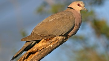 Red eye dove