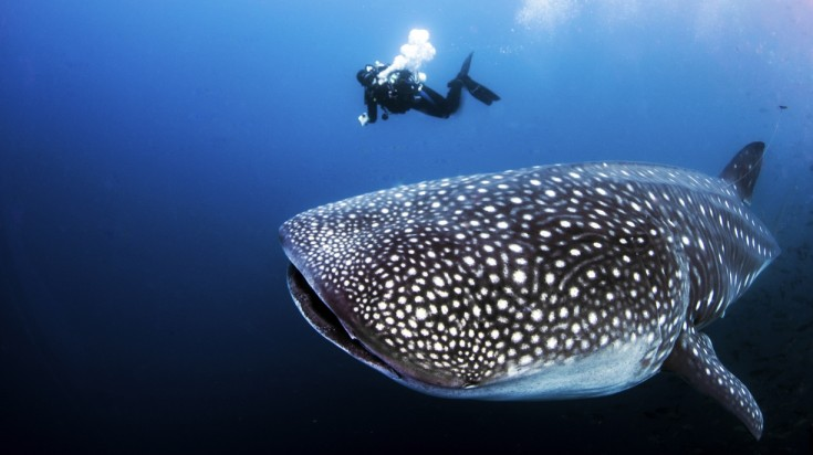 One of the best dive sites in Thailand is where you find the whale shark