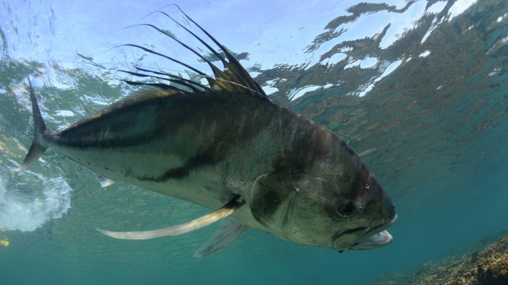 Rooster fish for fishing in Costa Rica