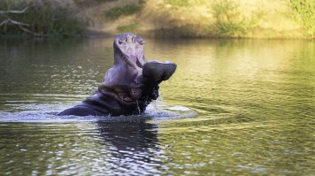 Witness a hippo on the luxury safari in South Africa