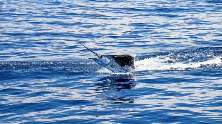 The marlin sailfish is an interesting catch when fishing in Costa Rica
