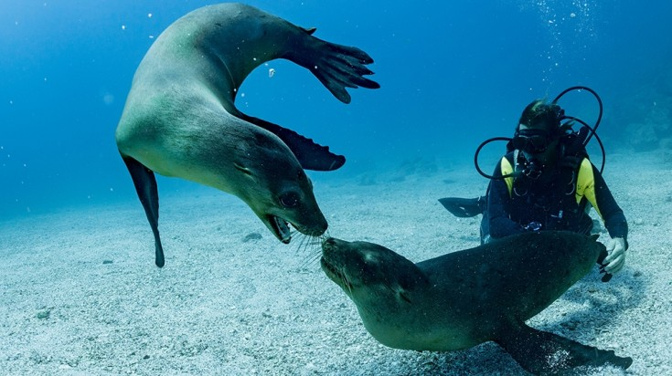 Diver interacts with Fur seals