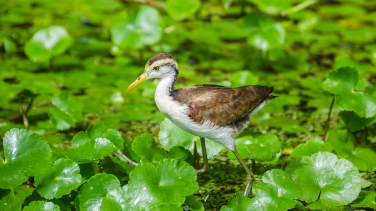 Jacana bird in Costa Rica