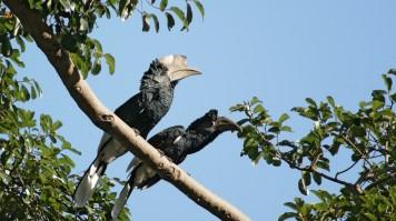 Silvery cheeked Hornbills