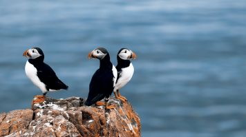 At Skaftafell National Park you can sight puffin birds