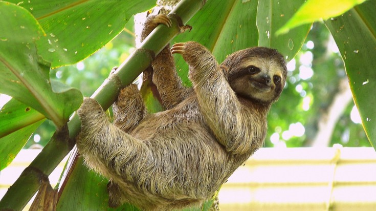 Brown-throated sloth in Costa Rica