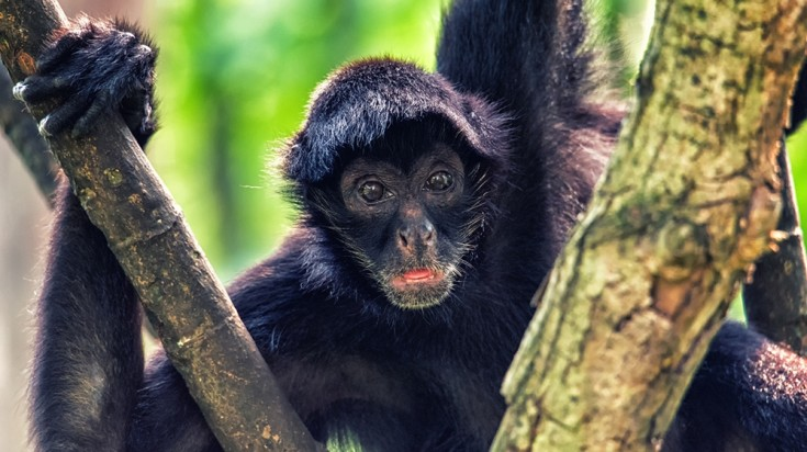 Spider monkeys can be seen jumping from one tree branch to another