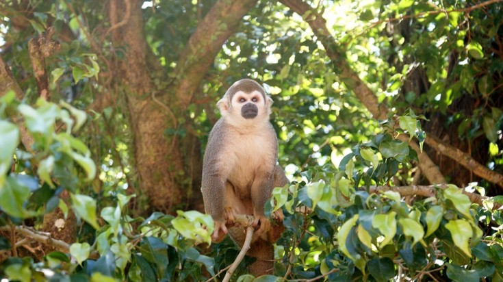 Manuel Antonio National Park is well known for different species of monkeys