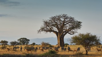 The Tarangire giant Baobab tree
