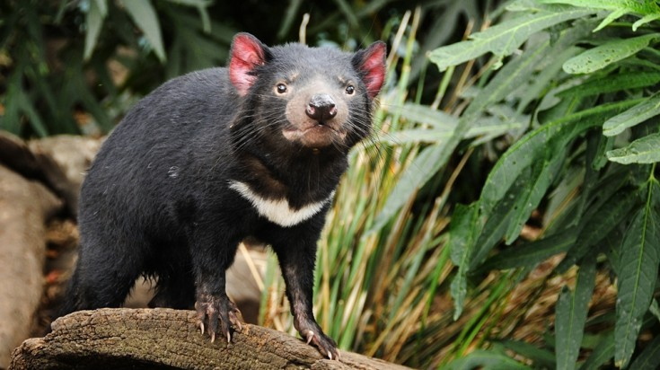 Witness the infamous Tasmanian Devil when in Hobart.