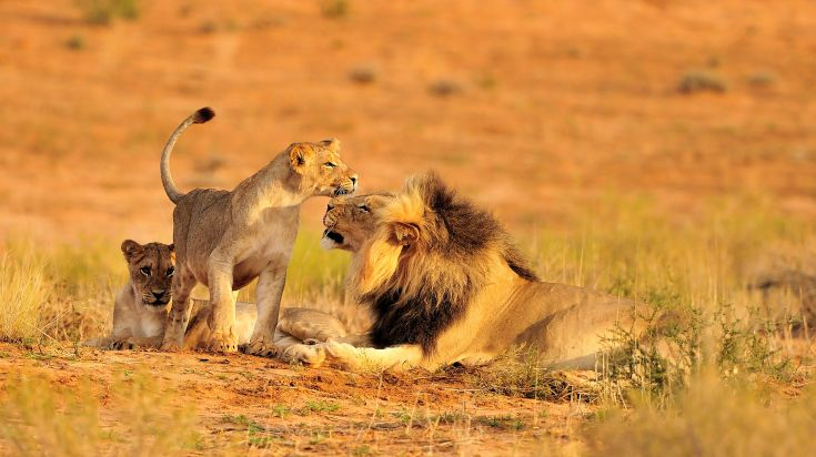 One of the Big Five animals, a pride of African Lions are a majestic sight