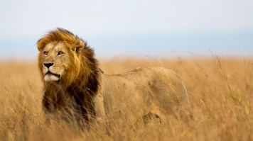 African Lion is one of the big five animals