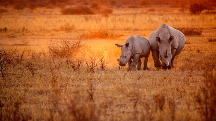 Rhinocerous is one of the big five animals in Africa, and for good reasons