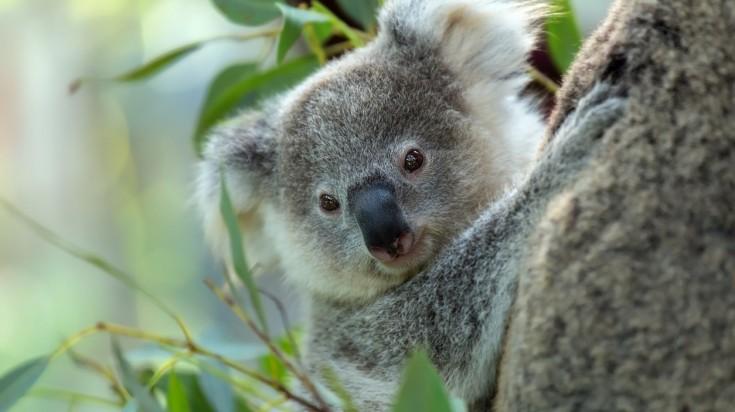 Things to do in Brisbane cuddle a koala