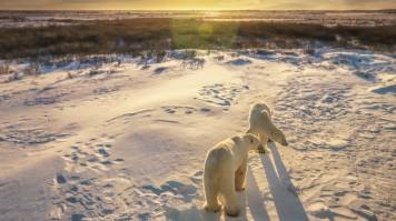 Polar bear sighting in Manitoba, Canada