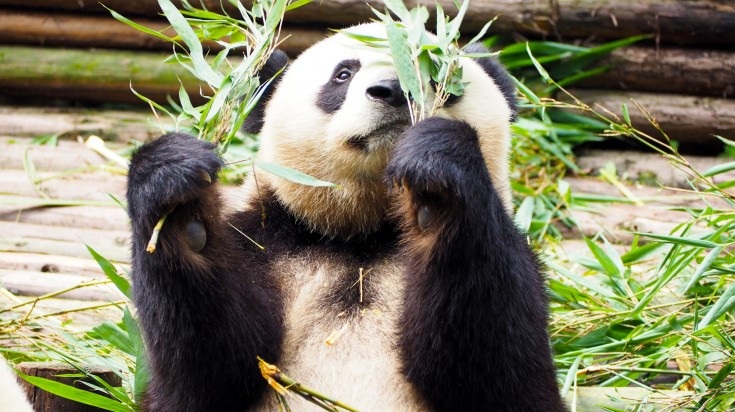 One of the best things to do in China is to observe the cute pandas