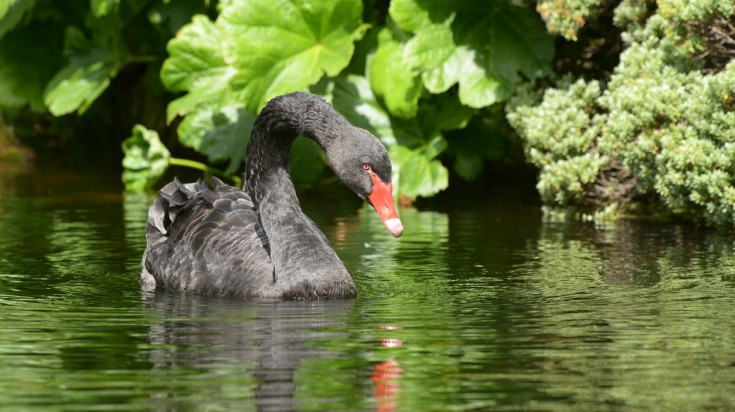 Things to do in Perth - spot a black swan