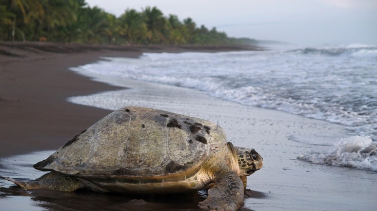 A sea turtle in Tortuguero National Park in Costa Rica