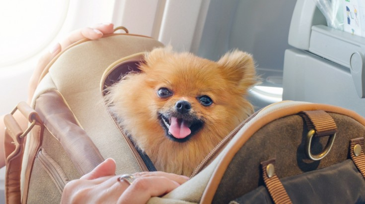Traveling with pets in the cabin is possible in some airlines.