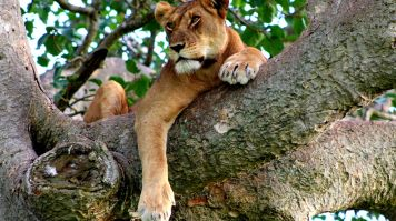 February is the best time to go to Uganda to see the tree climbing lions