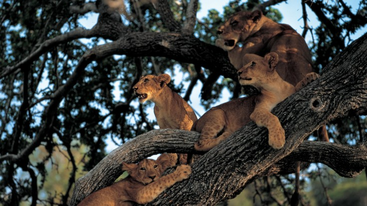 Tree climbing lions in Lake Manyara