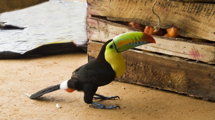 Tucan bird at Tayrona National Park
