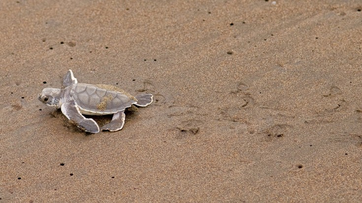 Little turtle hatchling in Tortuguero National Park in Costa Rica