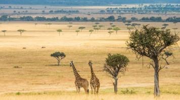 Two Giraffes walking in the Serengeti National Park