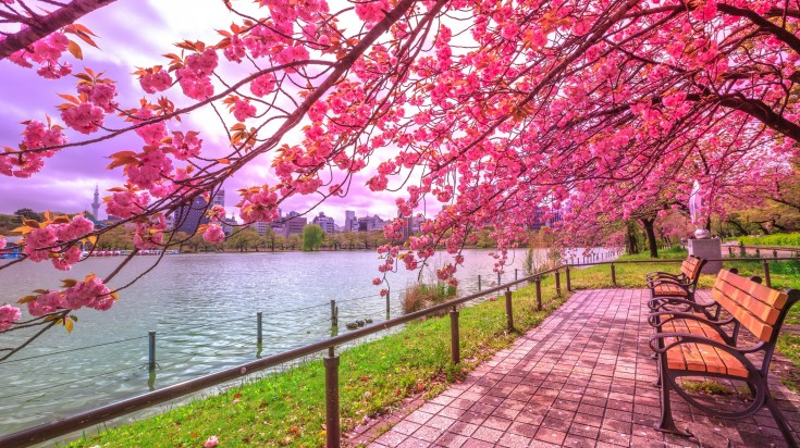 If you're in Japan to view the cherry blossom trees, visiting the cherry blossom trees in one of the best things to do in Tokyo.