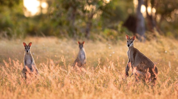 On the way from Alice Springs to Uluru, spot native wildlife in the bushes.