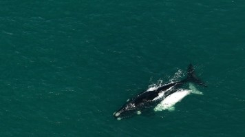 Whale Watching Aerial tours in Hermanus