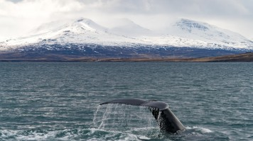 Akureyri is one of the prime spots for whale watching in Iceland