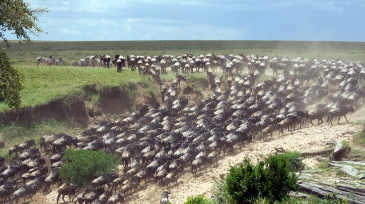 Wildebeest Migration in the Serengeti plains