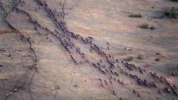 Wildebeest migration from Tanzania to Kenya, Africa