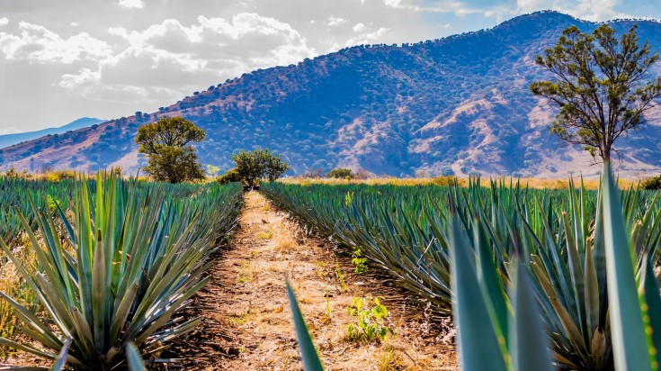 Rows of agave plant against a hill in the backdrop in Mexico