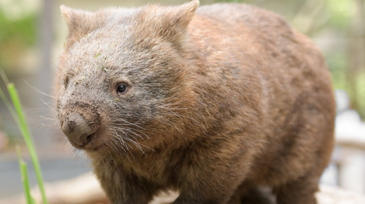 Wombat are found in the Bonorong Wildlife Sanctuary