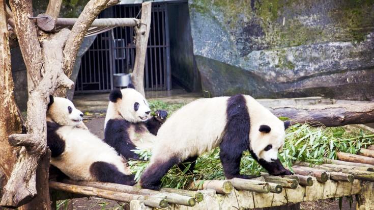 Panda's enjoying a leisurely time at the Chongqing Zoo in Chongqing, China
